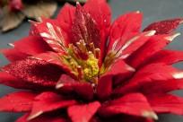 Polimniae - Stella di Natale