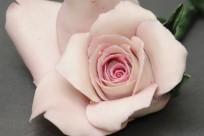 Fidelio Rose